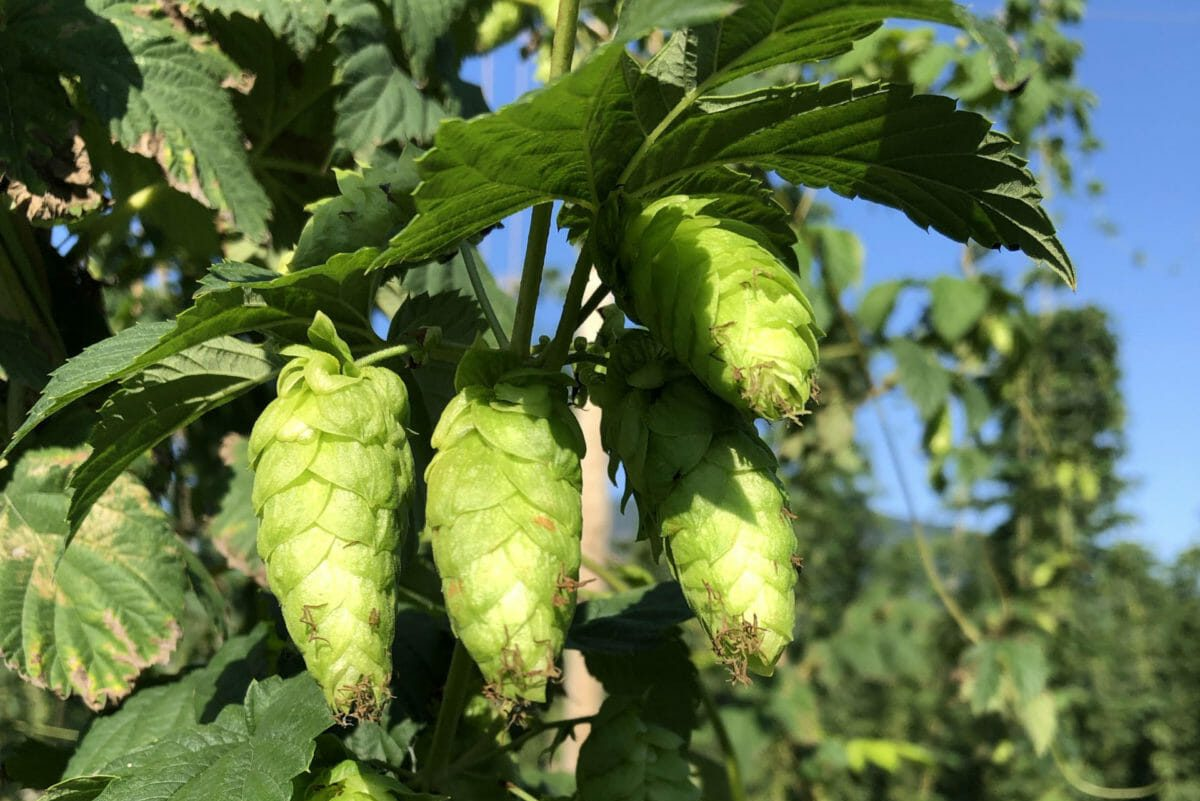 Hops Plant Support